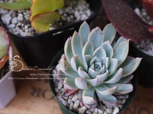 Echeveria 'Violet Qween' / バイオレットクイーン / 紫羅蘭女王