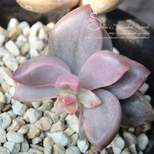 Graptopetalum paraguayensis 'Bronz' f. variegata / ピーチ姫 / 姬朧月錦