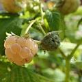 黃色覆盆莓 Yello Rasberry 20180607
