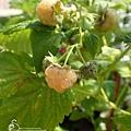 黃色覆盆莓 Yello Rasberry 20180607 140225