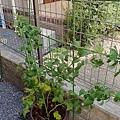 黃色覆盆莓 Yello Rasberry 20180802 172008