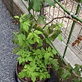 黃色覆盆莓 Yello Rasberry 20180912 145025