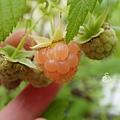 黃色覆盆莓 Yello Rasberry 20190601 162930