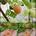 黃色覆盆莓 Yello Rasberry