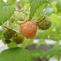 黃色覆盆莓 Yello Rasberry 20190601 162944