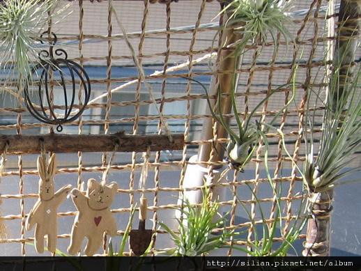 2009/11/18 Tillandsia butzii 虎斑