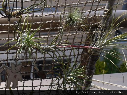 2011/5/20 Tillandsia butzii 虎斑