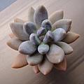 Pachyphytum cv. 紫麗殿