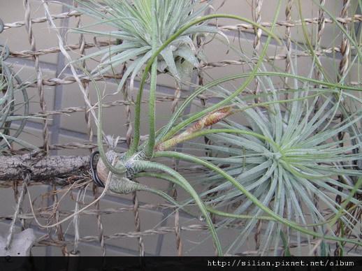 2010/12/11 Tillandsia butzii 虎斑