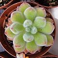 Echeveria cv. Bombycina 白閃冠 / ボンビシナ
