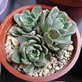 Aeonium domesticum f.variegata 愛染錦