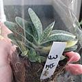 Gasteria gracilis var.minima  子寶錦 / 子宝錦