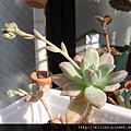 秋麗 \ 愁麗 \ Graptosedum 'Francesco Baldi'