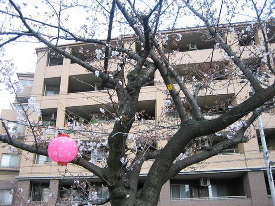這個星期又變冷了,櫻花大概只開了百分之二十而以~