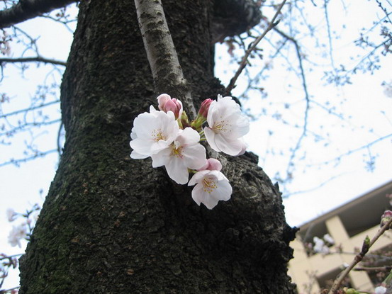 白白的櫻花好可愛~