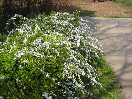 回家查我的花草圖鑑~原來它叫做珍珠梅又名雪柳,噴雪花,珍珠繡線菊,(名字還真多~) 為薔薇科繡線菊屬