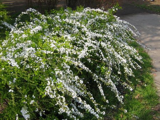 """珍珠梅葉形似柳,花白如雪,故又稱""""雪柳"""",原產于中國及日本。"""