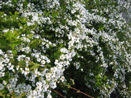 雪柳~開滿小白花的枝子跟雪柳這名字還真的蠻貼切的呢~