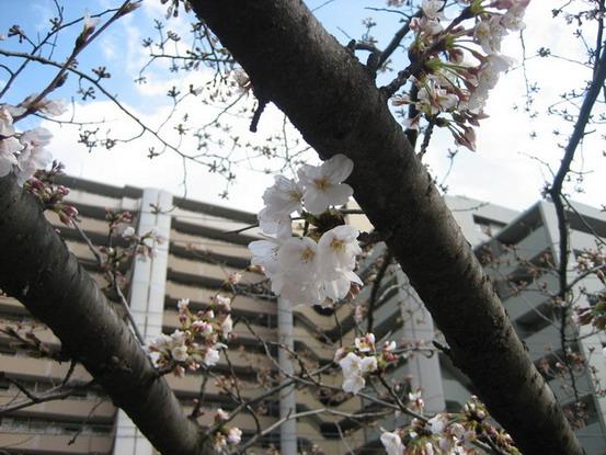 一小撮櫻花