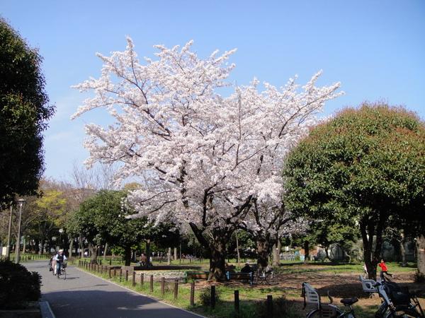 一出南砂町車站,就可以見到公園裡的櫻花滿開的樣子了~