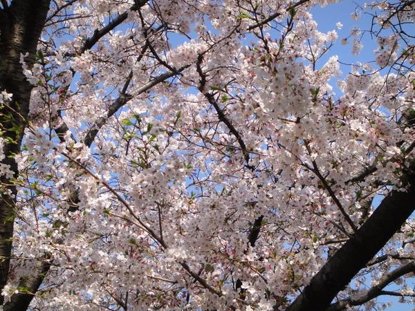 櫻花爆開中~~~