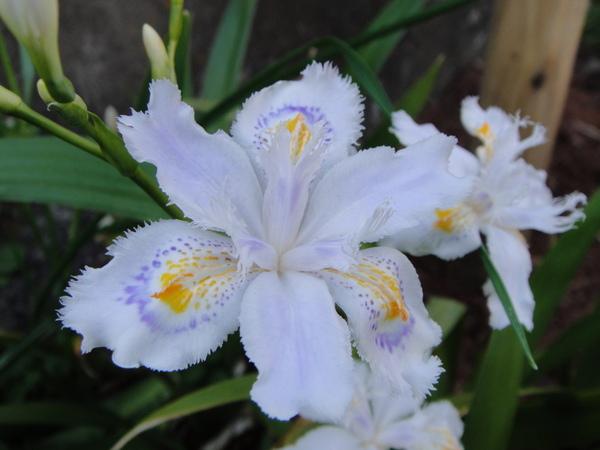 好白好白的花瓣上有淡紫色又有鮮橘色,好美啊~