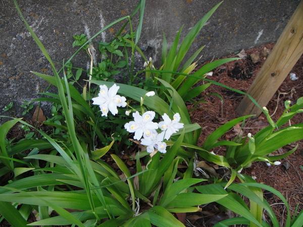 通往公園行人道的花圃裡看到了美美的花兒~