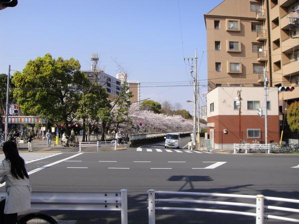 看到公園的櫻花啦~~~