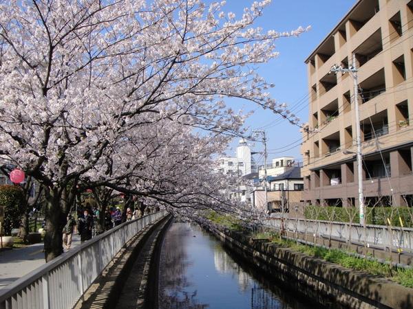 仙台堀川公園的櫻花盛開中囉~~~