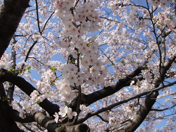 一朵朵小小可愛的櫻花,全部爆開真的很壯觀吶~