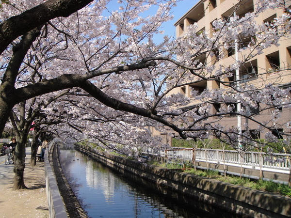 櫻花的親水性很強吧~我想,因為櫻花樹的枝子都會一直頃向有水流的地方耶~