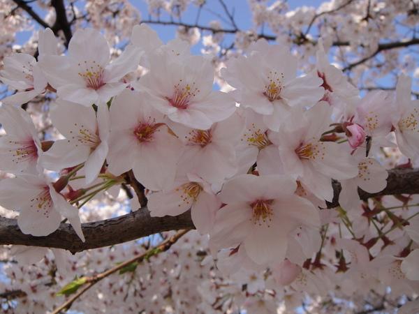 近拍可愛的櫻花團~