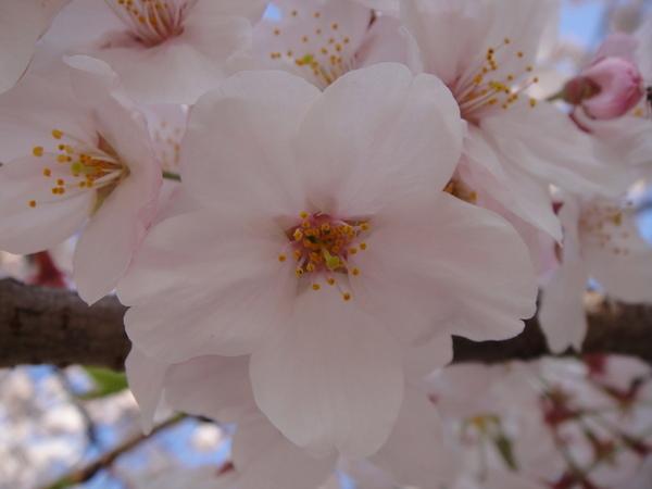 好可愛的櫻花喔~