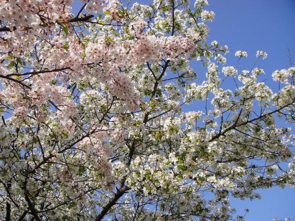這裡的櫻花靠堀川的全是粉紅櫻花,另一側偶爾有些白色櫻花樹