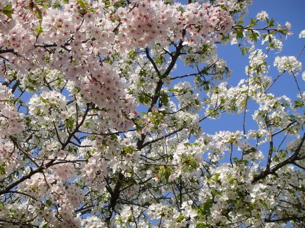 粉紅櫻花和白色櫻花的交會~