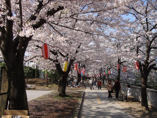 風大時,還有吹落櫻花瓣形成的櫻花雪景像,只可惜拍不出來那個樣子~