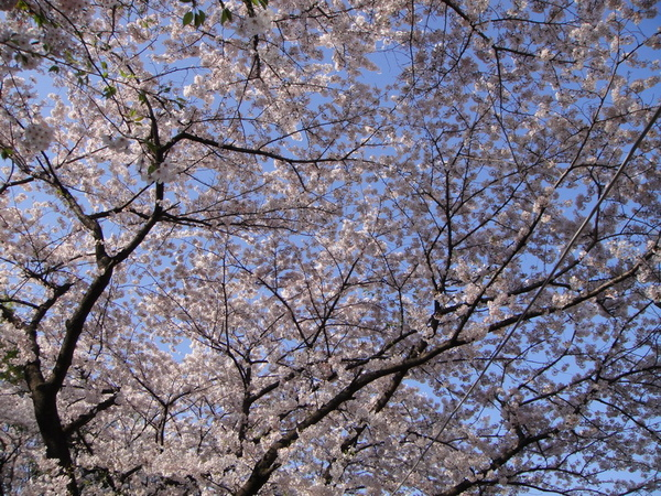 天空被櫻花遮住啦~