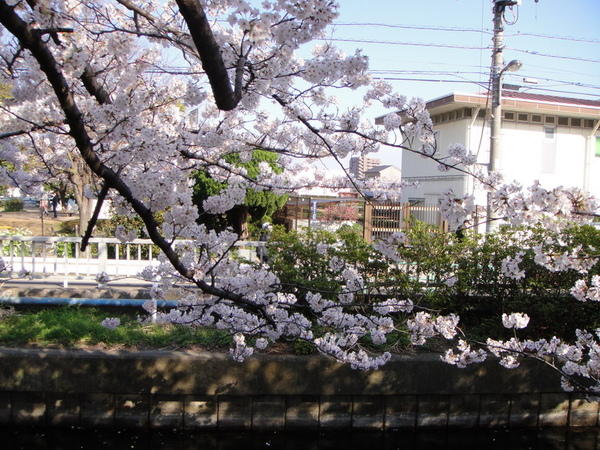 開滿櫻花的枝子~