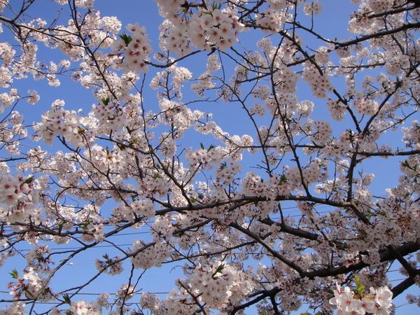 藍天與櫻花~