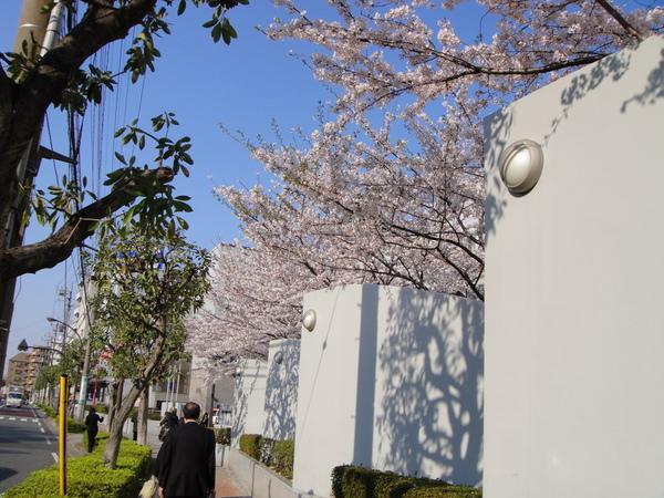 某中學校園裡的櫻花