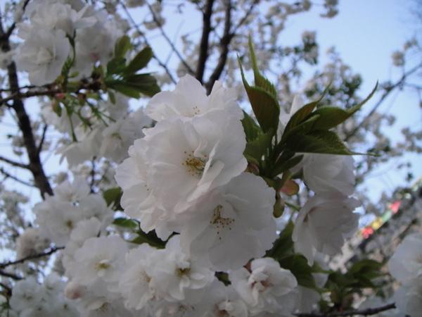 上野公園的白色重瓣櫻花