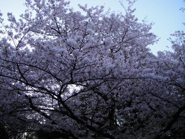 滿開的櫻花樹