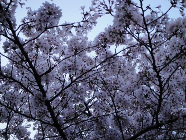 櫻花~櫻花~