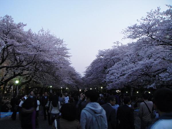 每年都盛開的櫻花