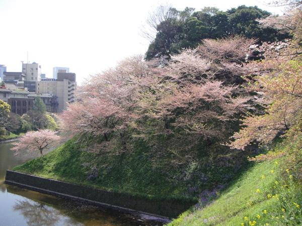 綠坡上全是櫻花~