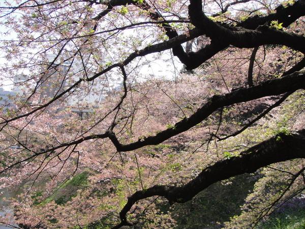 只可惜我無法拍出櫻花瓣落下的美景