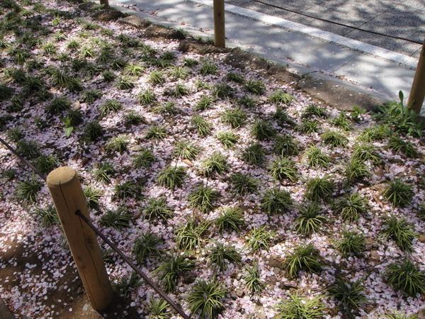 看~地上白白的全是櫻花落瓣喔~ 花圃也全是~