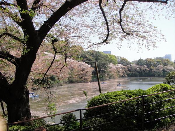 水面上白白的也全是櫻花落瓣~