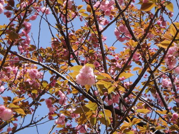 朋友T小姐跟我說,和菓子櫻餅上的葉子就是八重櫻的葉子~ 我才發現~對耶~是長這樣~