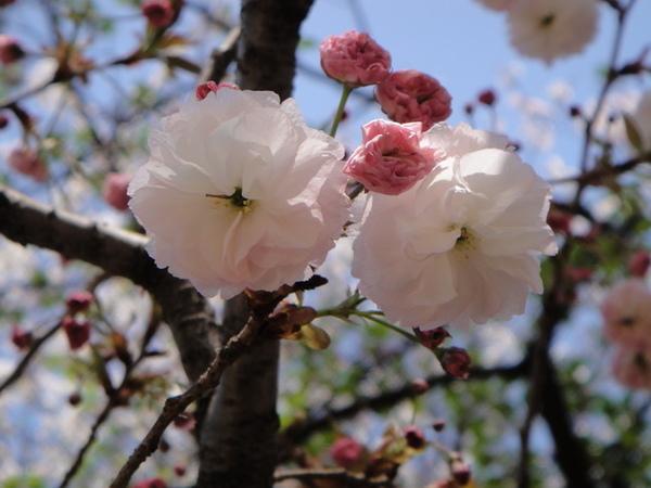 粉紅色的花瓣好柔美~